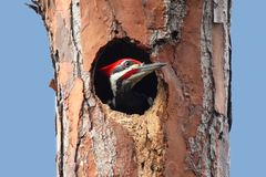 Pileated Woodpecker (Dryocopus pileatus) Royalty Free Stock Photos