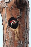 Pileated Woodpecker (Dryocopus pileatus). In a hole in a tree Royalty Free Stock Photography