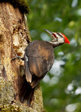 Pileated Woodpecker - Dryocopus pileatus Royalty Free Stock Photography