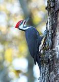Pileated Woodpecker - Dryocopus pileatus. A large Pileated Woodpecker climbing up a tree in searching of food Royalty Free Stock Photo