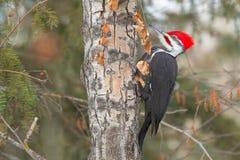 Pileated Woodpecker - Dryocopus pileatus. A male Pileated Woodpecker is perched on a slim tree trunk. Kinnaird Park, Edmonton, Alberta, Canada stock photos