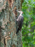 The pileated woodpecker Dryocopus pileatus   is pecking at the Royalty Free Stock Photography