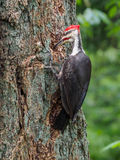 The pileated woodpecker Dryocopus pileatus is pecking at the. Tree royalty free stock photos