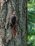 The pileated woodpecker Dryocopus pileatus   is pecking at the Royalty Free Stock Images
