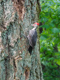 The pileated woodpecker Dryocopus pileatus is pecking at the. Tree stock photo