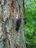The pileated woodpecker Dryocopus pileatus   is pecking at the Stock Image