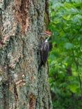 The pileated woodpecker Dryocopus pileatus   is pecking at the. The pileated woodpecker Dryocopus pileatus  is pecking at the tree Stock Photos
