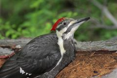 Pileated Woodpecker (Dryocopus pileatus) Royalty Free Stock Photo