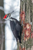 Pileated Woodpecker Stock Photography
