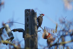 Pileated Woodpecker on electrical pole Stock Image