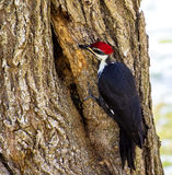 Pileated Woodpecker Enlarging a hole Stock Photography