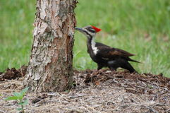 Pileated woodpecker feast Royalty Free Stock Photos