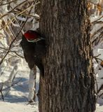 Pileated woodpecker peeking around a tree royalty free stock images