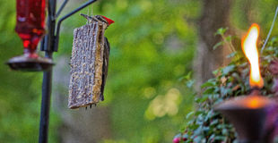 Pileated Woodpecker Feeding on Suet. Large pileated woodpecker visits a feeder filled with suet on the back deck of a home located next to woodland in Northern Stock Photo