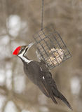 Pileated woodpecker female Stock Photos