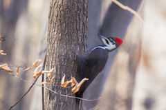 Pileated woodpecker Royalty Free Stock Photos