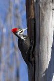 Pileated woodpecker female Royalty Free Stock Photos