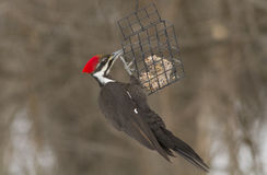 Pileated woodpecker female at feeder Stock Photo