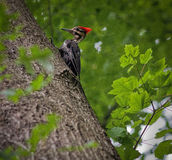 Pileated Woodpecker High in a Maple Tree. Large Pileated woodpecker feeding in a 120-foot maple tree in a woodland in Northern Virginia stock image