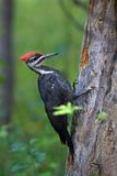 Pileated woodpecker hunting Royalty Free Stock Photo
