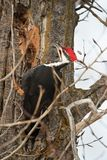 Pileated woodpecker in Kootenai National wildlife refuge. A pileated woodpecker peaking apart a tree on the side of the kootenay river in Kootenai National stock photography