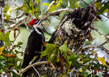 Pileated woodpecker looking at its hole in the tree Royalty Free Stock Image