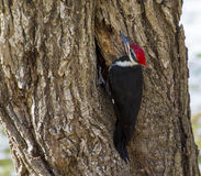 Pileated Woodpecker Making a hole Stock Photo