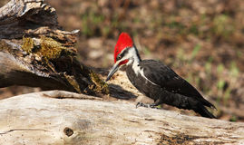 Pileated woodpecker male Stock Photo