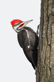 Pileated Woodpecker on an Oak Tree Stock Image