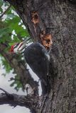 Pileated Woodpecker Pecks a Tree. A pileated woodpecker pecks two holes into a tree looking for sap and insects royalty free stock photo