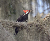 Pileated Woodpecker Perching Stock Photos