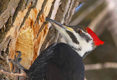 Pileated woodpecker portrait Stock Image