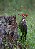 Pileated Woodpecker Profile Stock Image