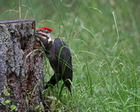 Pileated Woodpecker Reaching Inside a Stump Stock Photography