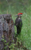 Pileated Woodpecker Ready to Strike Royalty Free Stock Image