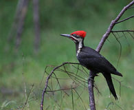 Pileated Woodpecker Side-view Stock Photography