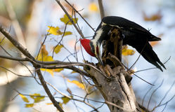 Pileated woodpecker storing food stock photography