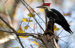 Pileated woodpecker storing food Royalty Free Stock Photo