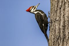 Pileated woodpecker on a tree. A large pileated woodpecker perched on a tree on a nice winter day royalty free stock photo