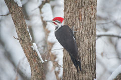 Pileated Woodpecker Braves Snowstorm Stock Image
