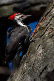 Pileated Woodpecker in the wind Stock Image