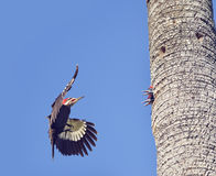 Pileated Woodpeckers Family Royalty Free Stock Images
