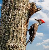 Pileated Woookpecker of North America. The pileated woodpecker is a woodpecker native to North America. This insectivorous bird is a mostly sedentary inhabitant stock images