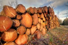 Piled tree trunks. Harvest in forestry: piled tree trunks of pine trees in a forest Stock Images