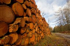 Piled tree trunks. Harvest in forestry: piled tree trunks of pine trees in a forest Stock Photos