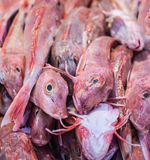 Piled Tub gurnard sea-fish in a market stall. Stacked red Tub Gurnard or Chelidonichthys lucerna-sea fish from the North Sea in the Dutch market stall Stock Photo