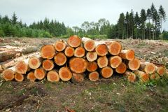 Chopped tree trunks in a deforested landscape. stock photography