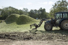 Piles of chaff from the hops at harvest time. Chaff from the hops is blown into piles to be used as fertilizer on a hop garden in Kent England UK Stock Photos