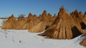 Piles of collected reed in the Danube Delta Stock Images
