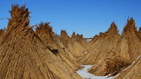 Piles of collected reed in the Danube Delta Royalty Free Stock Photography
